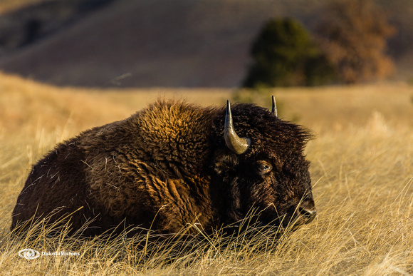 Windblown Bison in Wind Cave National Park by Dakota Visions Photography LLC