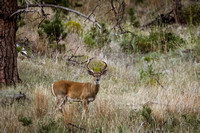 BEAUTIFUL WHITE-TAIL BUCK Black Hills Custer State Park South Dakota Wildlife Photography