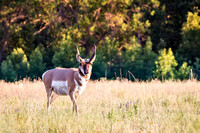 Antelope Buck in Fiery Custer State Park