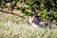 Young Coyote in Custer State Park